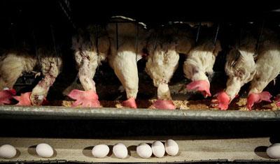 دلایل گرانی تخم مرغ در بازار چیست؟